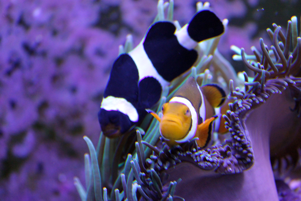 Is this normal clown fish cross breeding for Black fish eggs